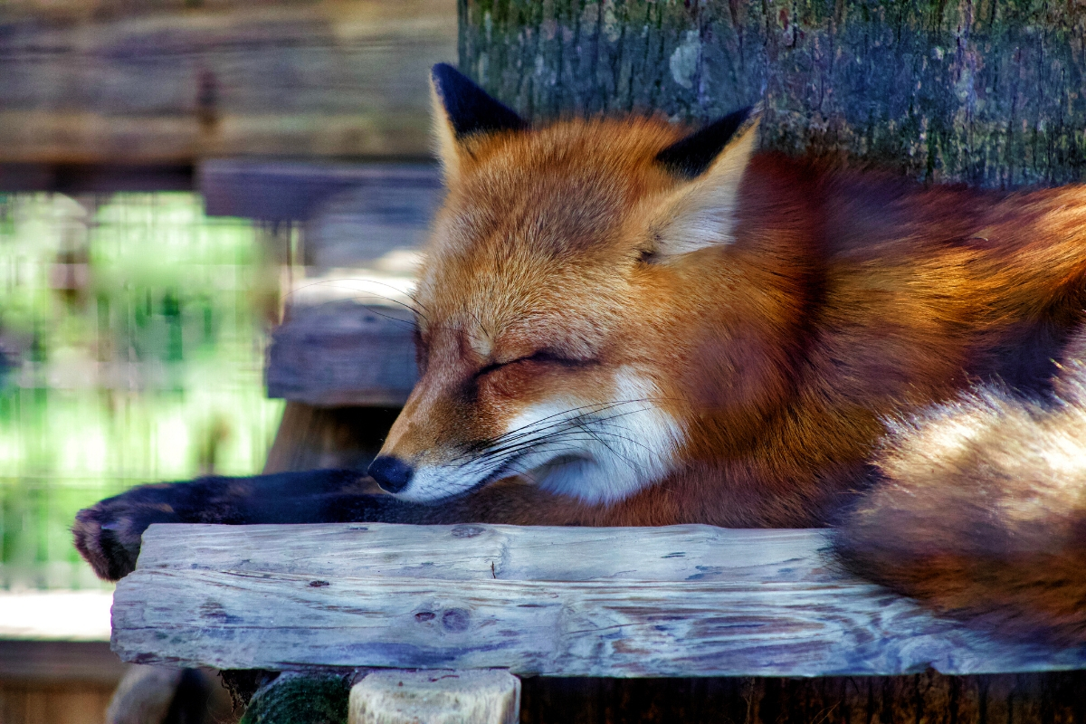 where-do-foxes-sleep