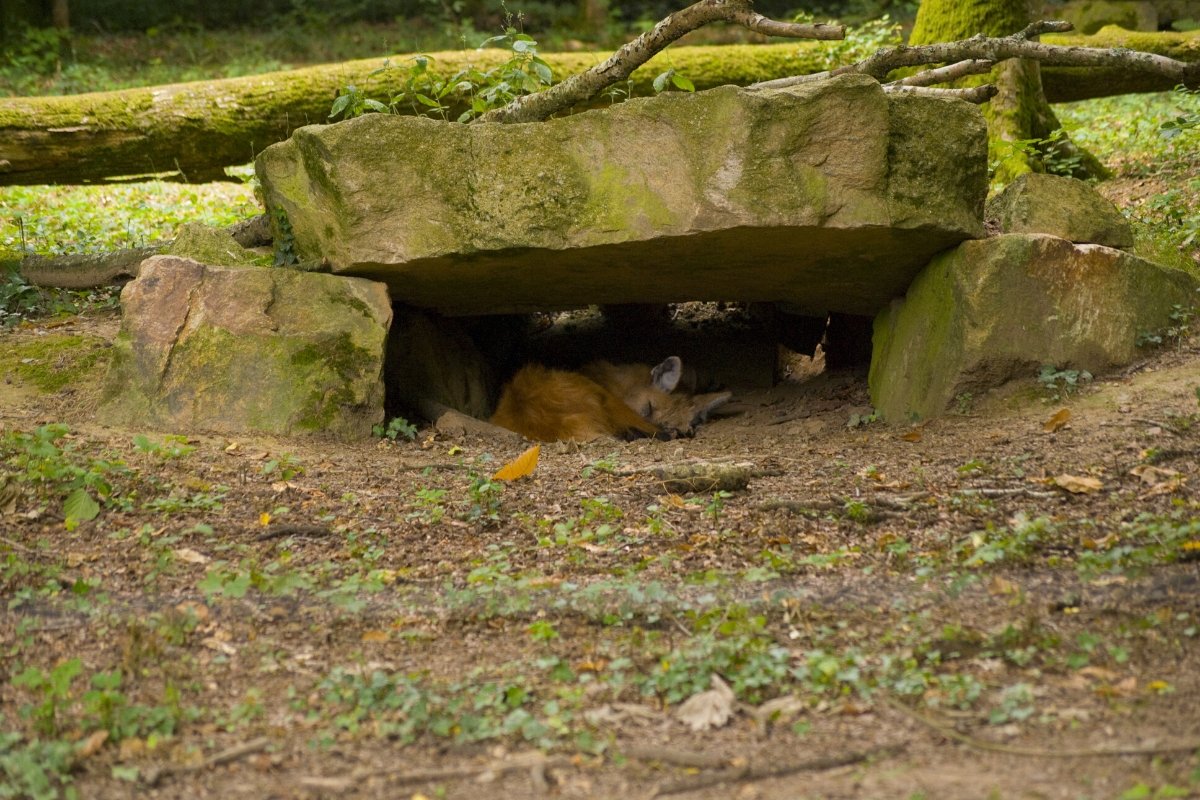 where-do-foxes-sleep-during-the-day