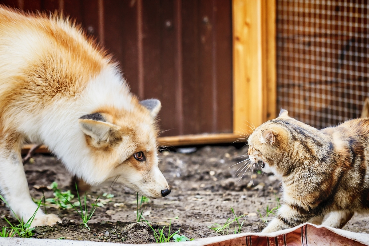 do-foxes-eat-cats