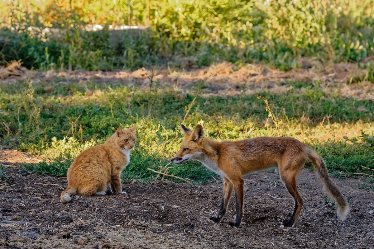 are-foxes-friendly-to-dogs-or-cats