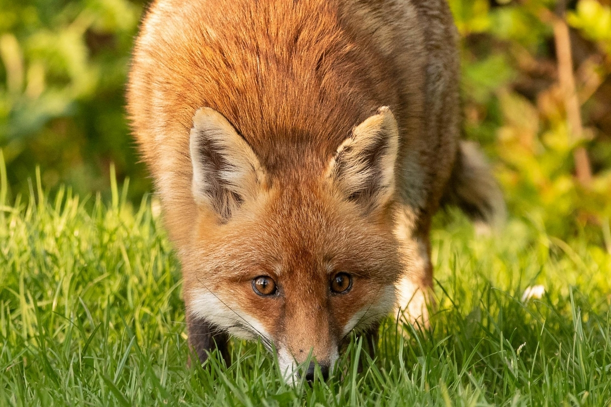 do-foxes-smell
