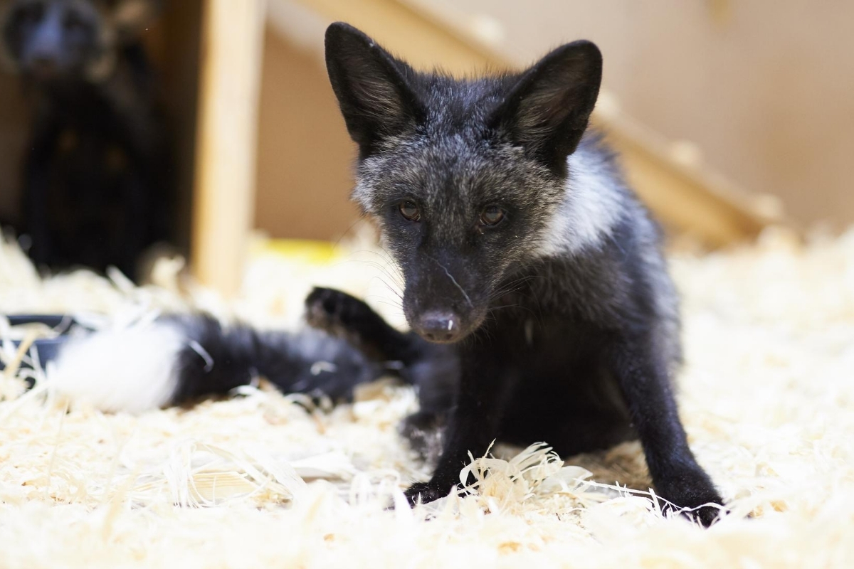 how-to-get-rid-of-fox-smell-in-house