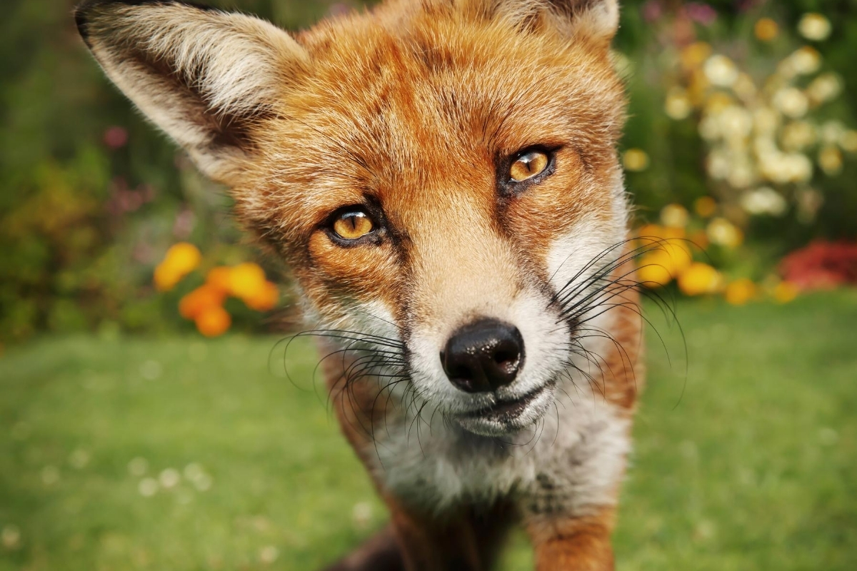 why-are-foxes-so-friendly