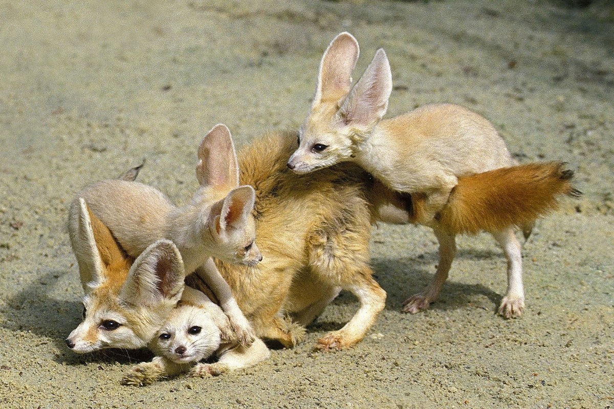 fennec-fox-babies-with-mother