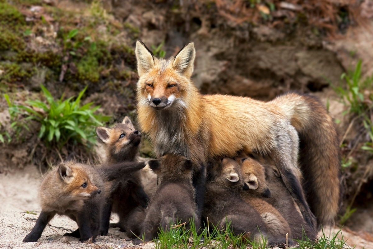 mother-fox-and-babies